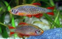 Für Kinder sind Süßwasserfische wie der Perlhuhnbärbling (Danio margaritatus) am besten geeignet; Bildquelle: WZF GmbH