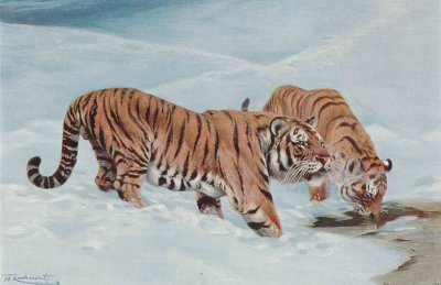 Sibirischer Tiger, Farbautotypie nach Wilhelm Kuhnert, um 1900.; Bildquelle: Friedrich-Schiller-Universität Jena