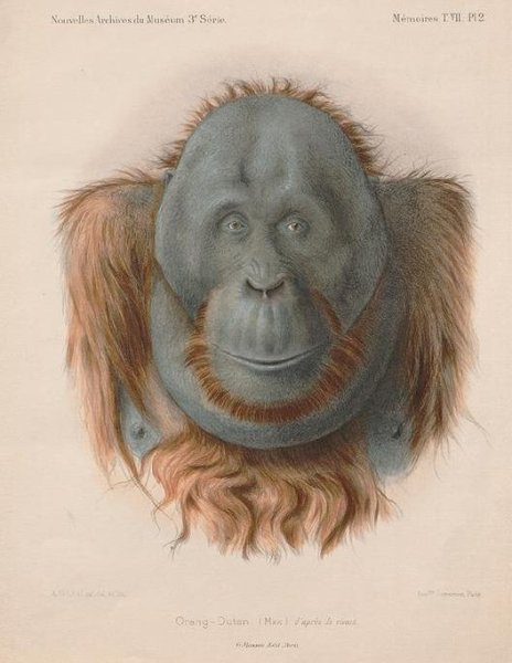 Koloriertes Porträt des Orang-Utans Max aus dem Jahr 1895.