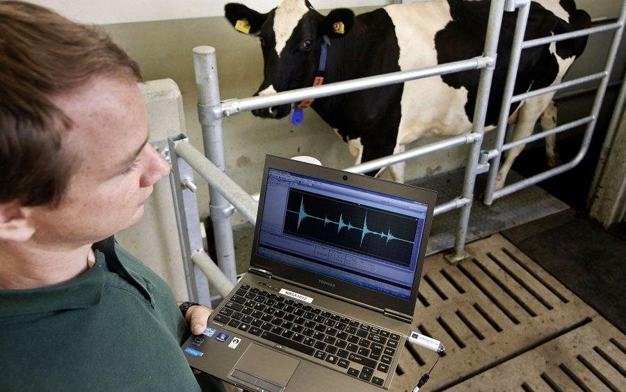 In der Experimentalanlage Rind werden über einen Trittschall Erkrankungen von Kühen untersucht