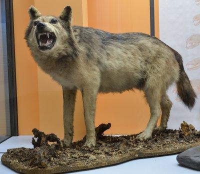 Eifel-Wolf; Bildquelle: Jörg Adrian, ZFMK