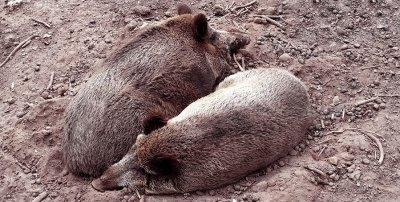 Wildschweine ; Bildquelle: FLI