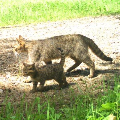 Eine Wildkatze ist mit einem Jungtier in die Fotofalle getapp; Bildquelle: Universität Göttingen