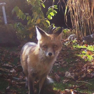 Ein Fuchs in einem Berliner Garten, aufgenommen von einer Wildtierkamera des Leibniz-IZW; Bildquelle: Leibniz-IZW