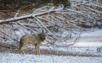 Wolf (Canis lupus) in der Lausitz zwischen Brandenburg und Sachsen; Bildquelle: Heiko Anders; www.andersfotografiert.com