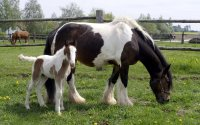 Erkrankungen der neugeborenen Fohlens rechtzeitig erkennen