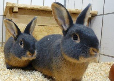 Kaninchen; Bildquelle: MyVetlearn