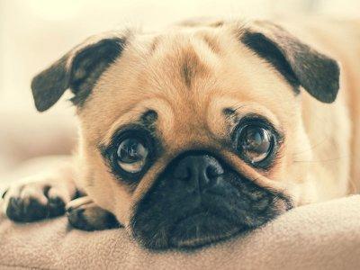 Qualzucht: Aufgaben und Pflichten für Tierärzt/innen; Bildquelle: Vetion