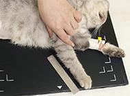 Korrekten Lagerung von Kleintieren beim Röntgen