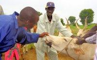 Mitarbeiter von Tieraerzte ohne Grenzen untersuchen Rinder der Binnenflüchtlinge und Gastgemeinden im Südsudan; Bildquelle: Tieraerzte ohne Grenzen