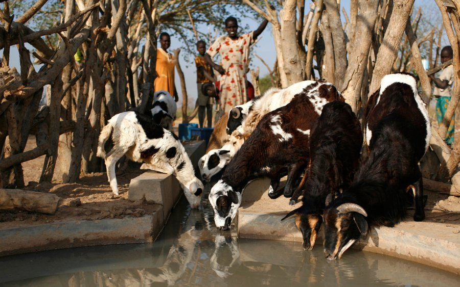 Dürreprävention: Ziegen trinken an Brunnen