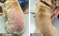 In dNeue Studie zur Behandlung der caninen Demodikose loprid/Moxidectin-Kombination) verglichen; Bildquelle: Merial