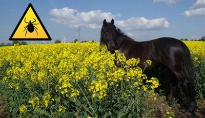 Vorsicht in der Zeckenzeit: Anaplasmose bei Hund und Pferd; Bildquelle: EUROIMMUN Medizinische Labordiagnostika AG