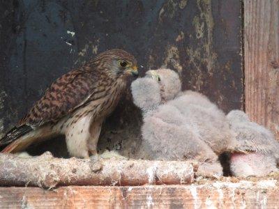 Turmfalke als Amme für Nestlinge