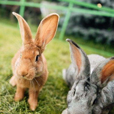 Live-Webinar: Ausgewählte Infektionskrankheiten bei Kaninchen und Meerschweinchen � ganzheitlich behandelt; Bildquelle: Heel