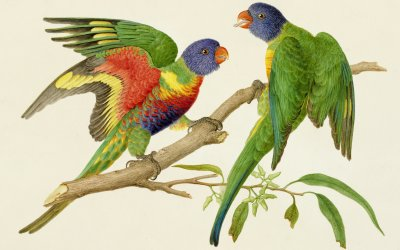 Rainbow lorikeet (Trichoglossus haematodus moluccanus), watercolour, Ferdindand Bauer, based on pencil sketch made at Port Philipp (Melbourne), April 1802; Bildquelle: Natural History Museum, London